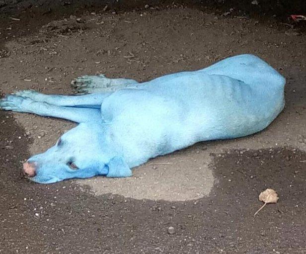 В Индии закрыли лакокрасочную фабрику, из-за которой в Мумбае собаки стали голубыми