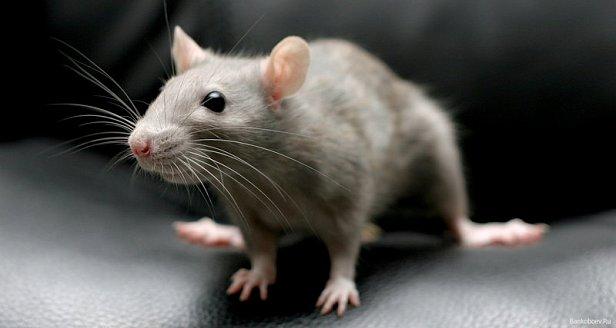 ГПУ и САП спустят на травлю крыс более 40 тыс.