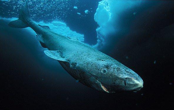 Ученые нашли древнюю акулу, которая живет 513 лет