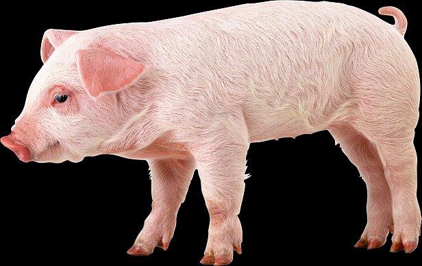 """На рынке """"живого"""" товара отмечен рост цены на свинью"""