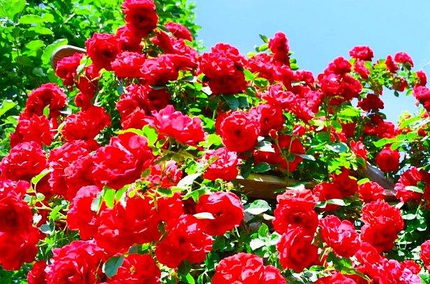 Плетистые розы в саду. В чём их преимущества?