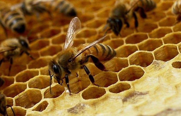 фото - пчелы