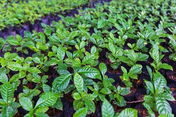 Особенности выращивания кофейного дерева