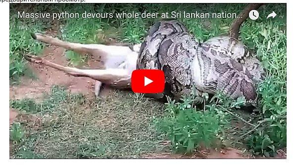 На Шри-Ланке туристы сняли на видео, как питон съел оленя